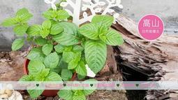 仙草苗.桃園2號(香華品種)超濃香氣 .燒仙草植物 仙草盆  仙草栽種