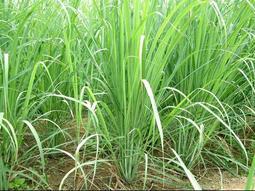 香草植物--香茅草 (檸檬香茅)
