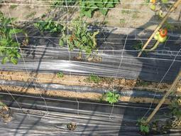 【】四方格攀爬網 5.6尺寬/6.4尺寬(8吋網目)菜豆網 絲瓜網 蕃茄網 茄子苦瓜網 小黃瓜網 農用栽培網 銀黑布