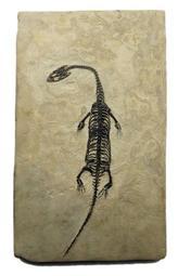 [精品] 小型 貴州龍 化石~~頭部骨骼完整,眼窩清楚,還帶有外露牙齒 (購自石X自然探索屋)