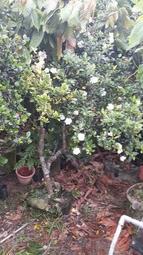 玉堂春 日本重瓣玉堂春 水梅花 開花,上百朵花苞