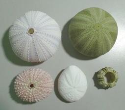 【阿草雜貨舖】-*海膽組合 5顆一組*- 約2.5公分~5公分