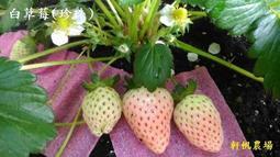 草莓苗  白草莓/珍珠/匍匐莖苗  軒帆農場