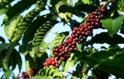 【小資咖啡生豆】巴拿馬 翡翠莊園 藍標 藝妓/瑰夏 1500M 水洗處理 2020產季,以500克為一個單位