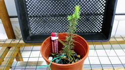 Cedrus atlantica 北非雪松 大西洋雪松 種子 樹苗