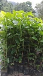 哇沙米景觀#咖啡樹苗,阿拉比卡高40公分,一箱可裝35棵。