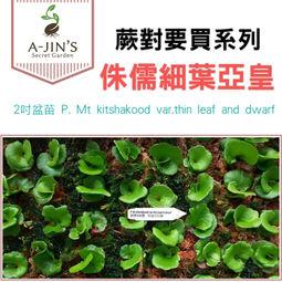 侏儒細葉亞皇 2吋盆苗 P. Mt kitshakood var.thin leaf and dwarf PP090