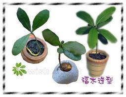 希望森林【種子盆栽專用種子~福木種子】 10顆30元 好種,可水耕