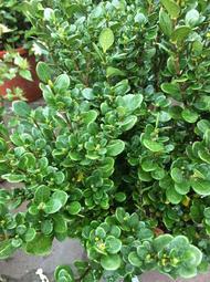 一禪種苗園-圓葉槴子花<圓葉玉堂春(達摩玉堂春)>綠籬植物- 5吋盆
