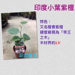初花農場|印度小葉紫檀|3吋盆|----定價300特價250